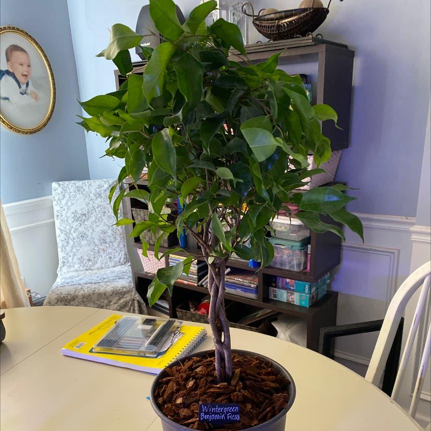 Weeping Fig plant in McDonough, Georgia