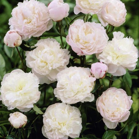 Photo of the plant species Chinese Peony by Jennviv named Shirley Temple Peony on Greg, the plant care app