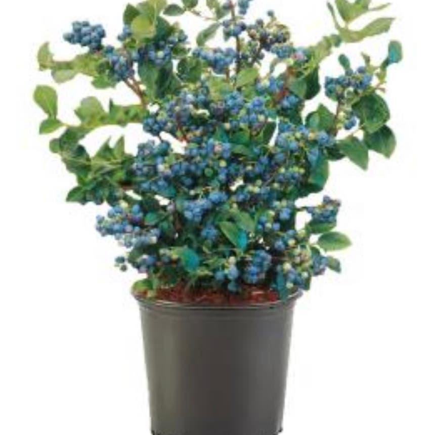 Hillside blueberry plant in McDonough, Georgia