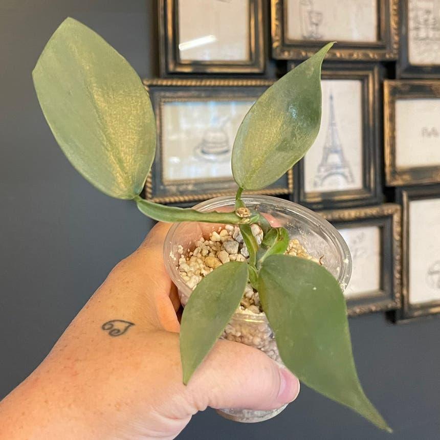 Silver Sword Philodendron plant in McDonough, Georgia