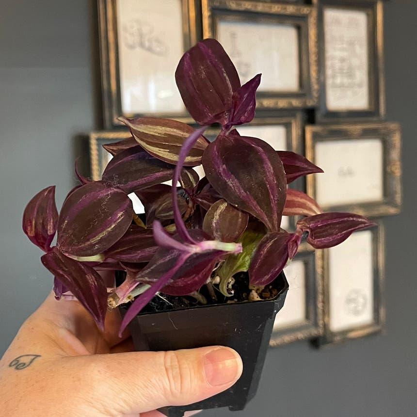Zebrina plant in McDonough, Georgia