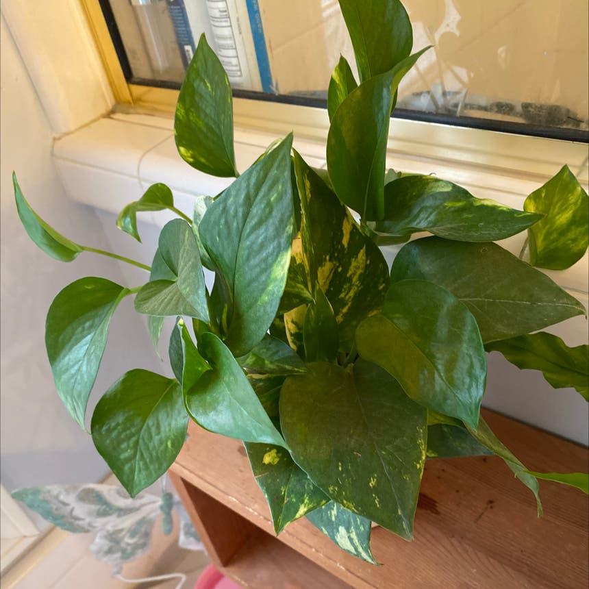Pothos 'Jade' plant in McDonough, Georgia