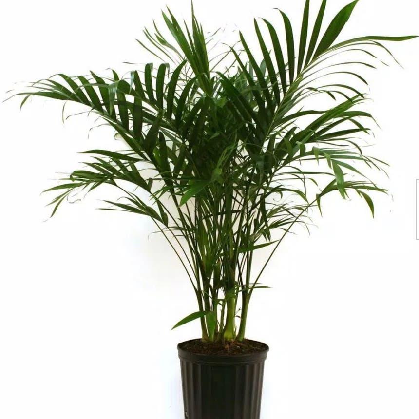 Cat Palm plant in McDonough, Georgia