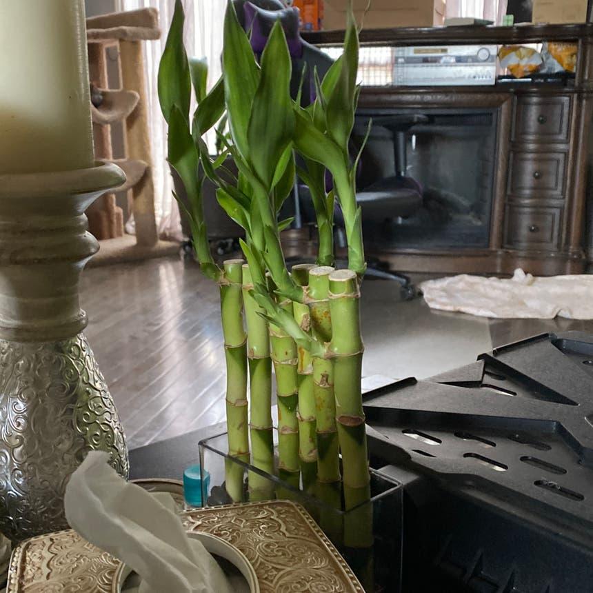 Lucky Bamboo plant in McDonough, Georgia