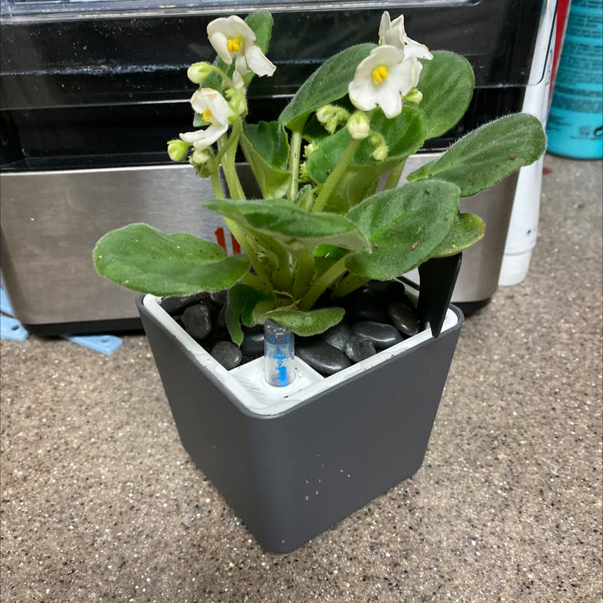 African Violet plant in McDonough, Georgia