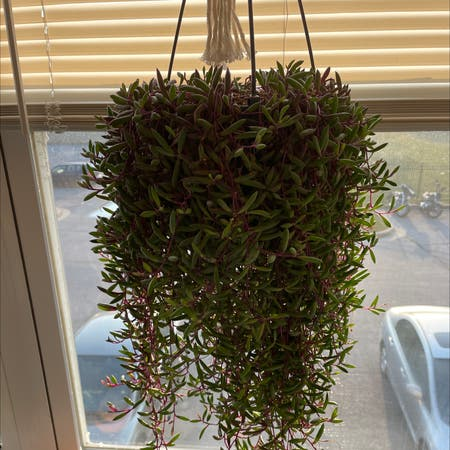 Photo of the plant species ruby necklace by Leahmae0323 named Ruby Necklace on Greg, the plant care app