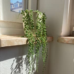 String of Pearls plant photo by Gendronne named Pearls on Greg, the plant care app.