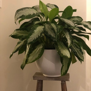 Chinese Evergreen plant photo by Maliskarly named Diana on Greg, the plant care app.
