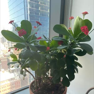 Crown of Thorns plant photo by Tednyc21 named Cersei Lannister on Greg, the plant care app.