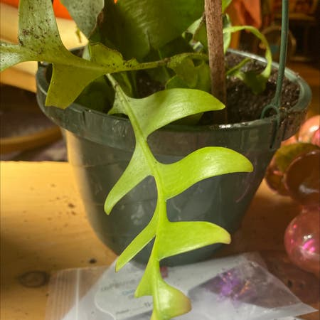 Photo of the plant species Fernleaf Cactus by Jennyfresh108 named Spike on Greg, the plant care app