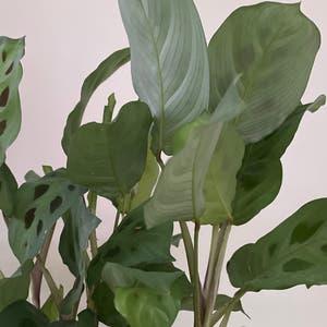 Variegated Prayer Plant plant photo by Doriane named Maranta on Greg, the plant care app.