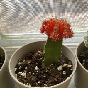 Rating of the plant Moon Cactus named helen by Bectheplantmom on Greg, the plant care app