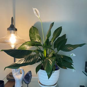 Sensation Peace Lily plant photo by Esperanza named Mollie on Greg, the plant care app.