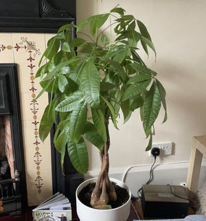 Money Tree plant photo by Michaklos named Chuck on Greg, the plant care app.