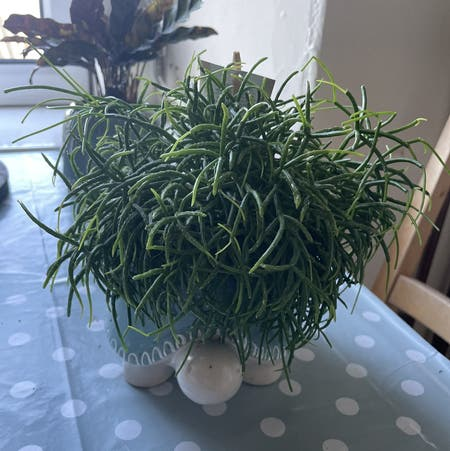 Photo of the plant species Trailing Mistletoe Cactus by Michaklos named Rupert on Greg, the plant care app