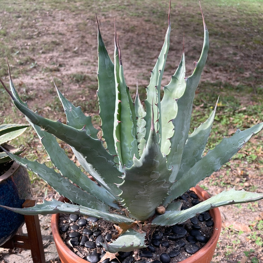 Agave wocomahi plant in Somewhere on Earth