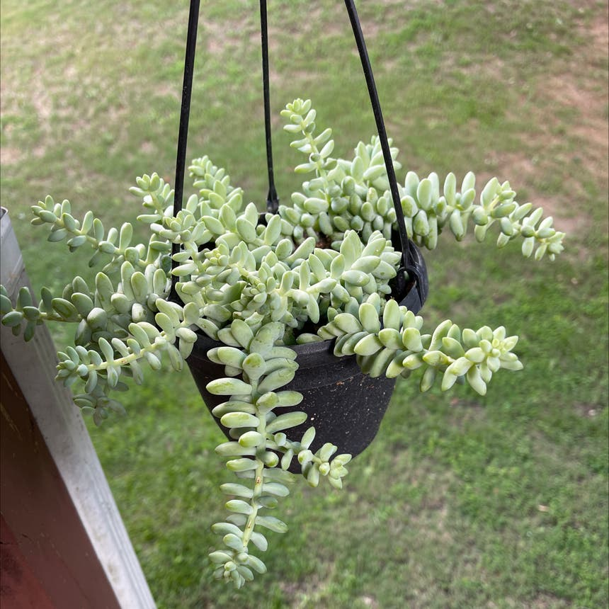 Burro's Tail plant in Somewhere on Earth