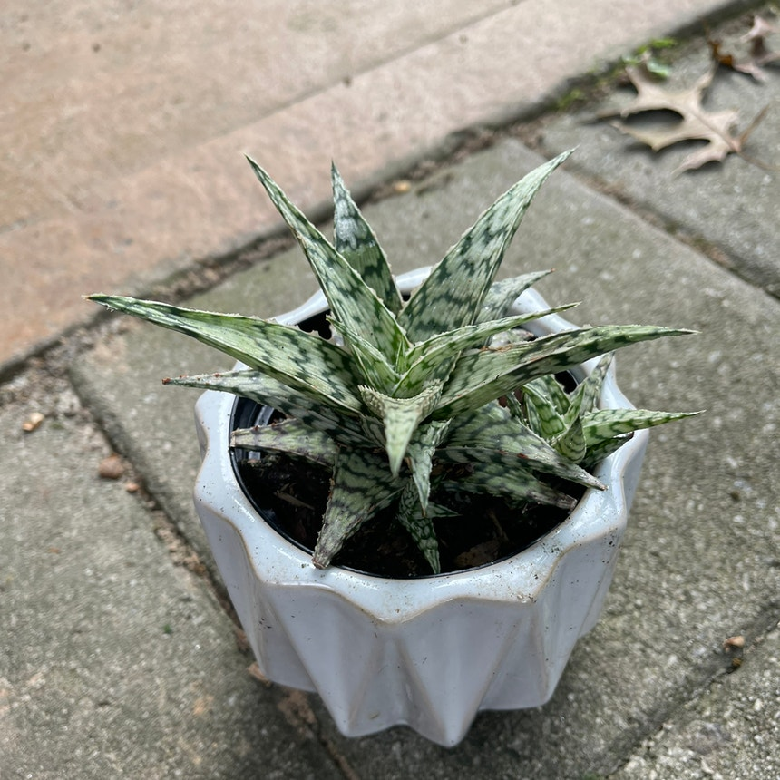 Snowflake Aloe plant in Somewhere on Earth