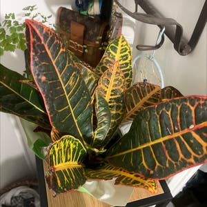 Gold Dust Croton plant photo by Asia named Starr on Greg, the plant care app.