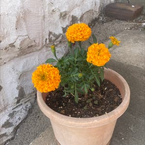African Marigold plant photo by Meghan named Keanu Leaves on Greg, the plant care app.