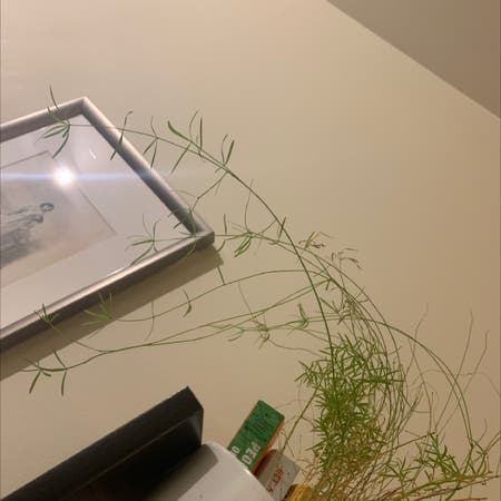 Photo of the plant species Lentil vetch by Amo named Tree Diddy on Greg, the plant care app