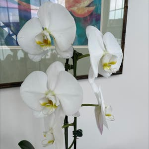 Phalaenopsis orchid plant photo by Sheila lady named Helen Mirren on Greg, the plant care app.