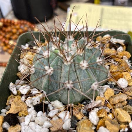 Photo of the plant species Melocactus azureus by Donald named Melocactus azureus on Greg, the plant care app