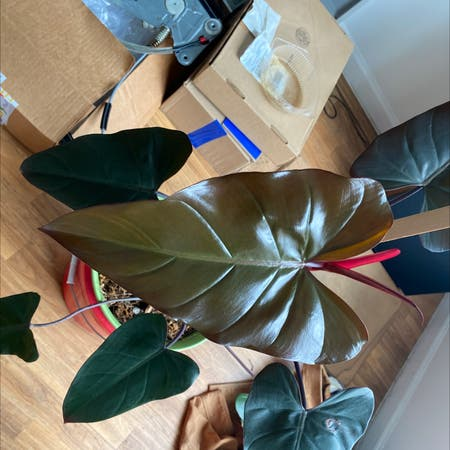 Photo of the plant species Dark Lord by Lance named Philodendron Dark Lord on Greg, the plant care app