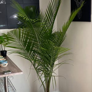 Rating of the plant Majesty Palm named Tropius by Lurkinglegend on Greg, the plant care app