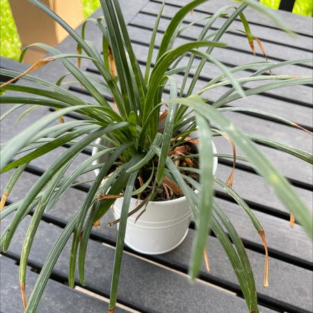 Photo of the plant species Ophiopogon Japonicus by Kennedyhtx named Burt on Greg, the plant care app