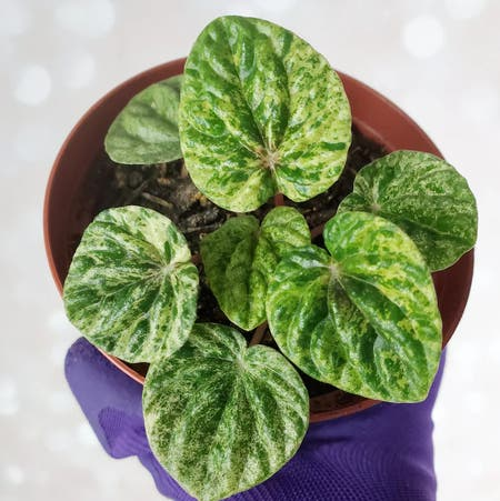 Photo of the plant species Variegated ripple peperomia by Itsfabiii named Cleo on Greg, the plant care app