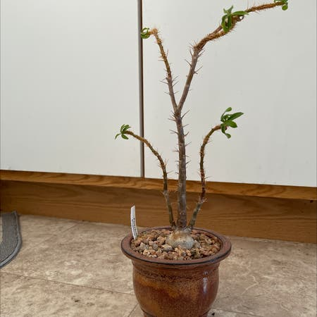 Photo of the plant species Pachypodium griquense by James named Gringo on Greg, the plant care app