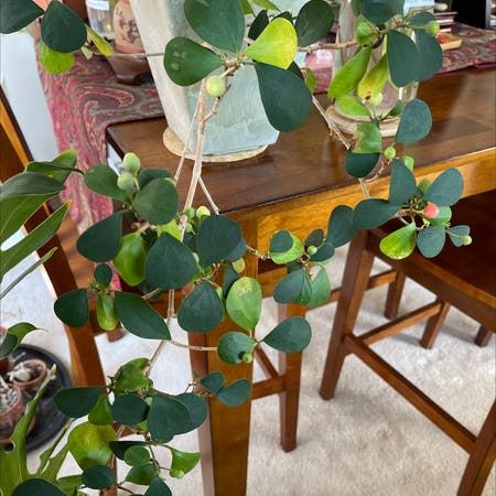 Photo of the plant species Mistletoe Fig by James named Mistletoe Fig on Greg, the plant care app
