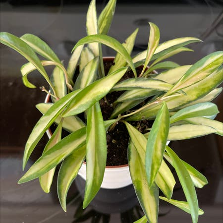 Photo of the plant species Stringbean Hoya by James named Kardashian on Greg, the plant care app