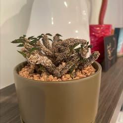 Euphorbia decaryi plant