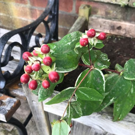 Photo of the plant species Hypericum Androsaemum by Peter named Your plant on Greg, the plant care app