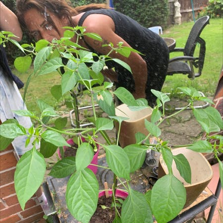 Photo of the plant species Capsicum annuum by Jenna named Chilli plant on Greg, the plant care app