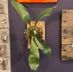 Staghorn Fern plant