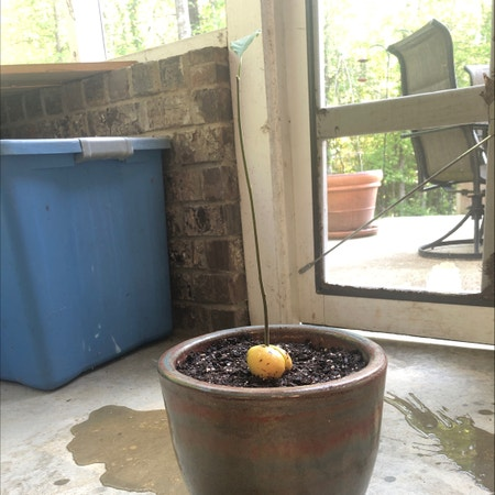 """Photo of the plant species Wurtz Avocado by Plantmomma3 named Baby Avocado """"One"""" on Greg, the plant care app"""