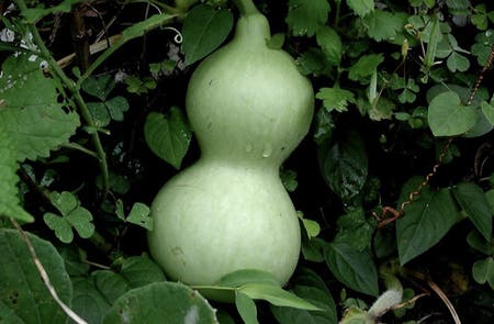 Photo of the plant species Calabash Gourds by Neil named Your plant on Greg, the plant care app