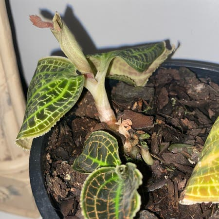 Photo of the plant species Goodyera Pubescens by Emily named Jewl on Greg, the plant care app