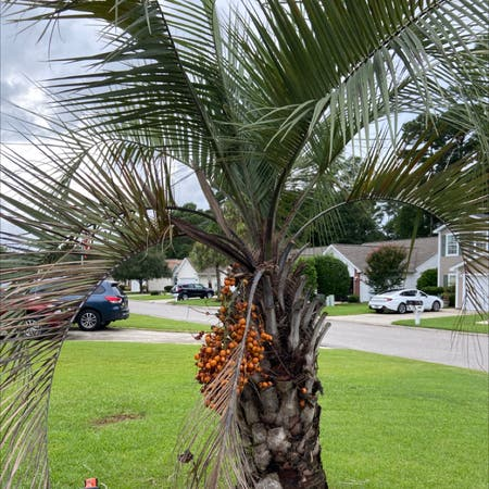 Photo of the plant species Jelly palm by Janet named Palmetto tree on Greg, the plant care app