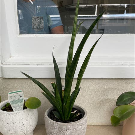 Photo of the plant species sansevieria by Krissy___b named Sansevieria on Greg, the plant care app