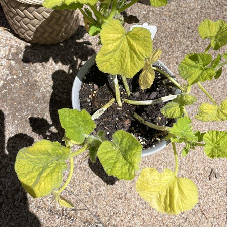 Photo of the plant species Winter Squash by Inklefritz19 named Pumpkin on Greg, the plant care app
