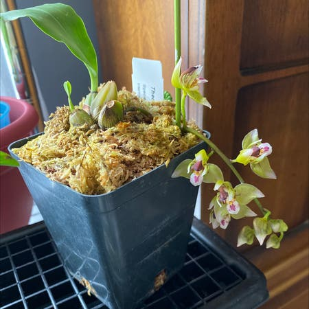 Photo of the plant species Thecopus Orchid by Carrie named Theo on Greg, the plant care app