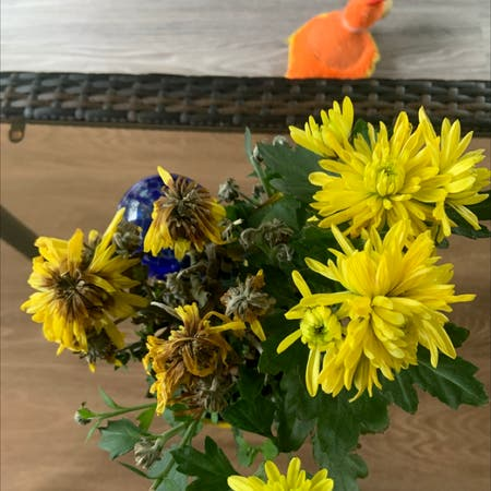 Photo of the plant species Rudbeckia laciniata by Cathy named Yellow on Greg, the plant care app