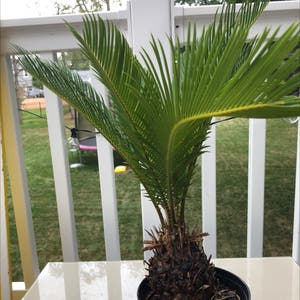Sago Palm plant photo by Lilyiscool named Sago Palm on Greg, the plant care app.