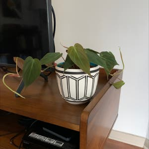 Heartleaf philodendron plant photo by Ana named Velvet leave philodendron on Greg, the plant care app.