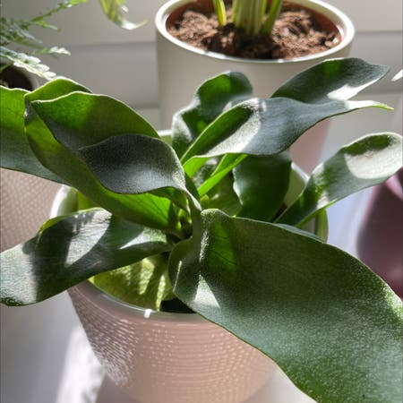 Photo of the plant species elkhorn fern by Alyxis named lou on Greg, the plant care app