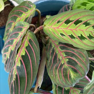 Rating of the plant Green Prayer Plant named Prayer by Marie on Greg, the plant care app